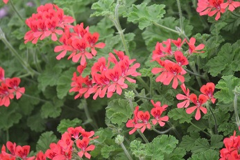 Geranium Online Courses Pelargoniums Distance Education